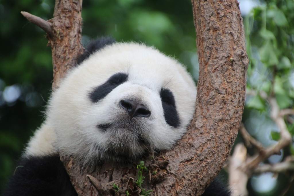 Panda sleeping in a tree